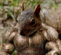 A very muscular squirrel