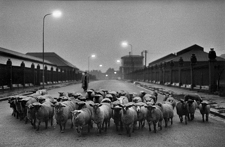 don-mccullin-sheep-to-slaughter